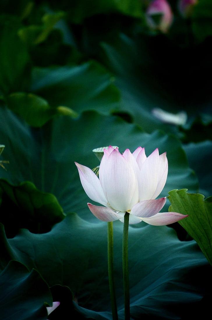 цвете, Lotus, естествени, фотография, водна лилия, Lotus водна лилия, природата