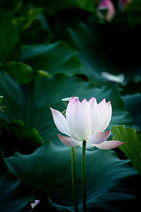 flower, lotus, natural, photography, water Lily, lotus Water Lily, nature