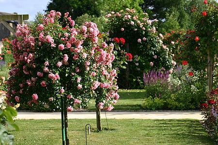 Roser, capoll de Rosa, jardí, l'estiu
