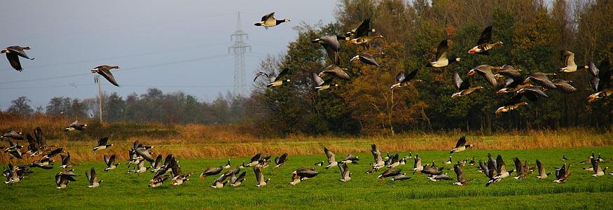 ocells, oques, aviram, oques salvatges, natura, fotografia de la natura, volar