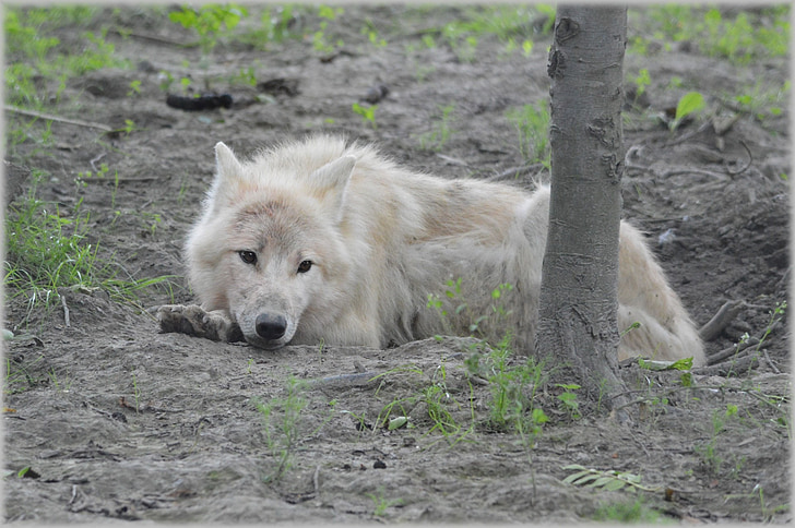 wolf, predator, european wolf, gray wool, white wolf, dog, animal