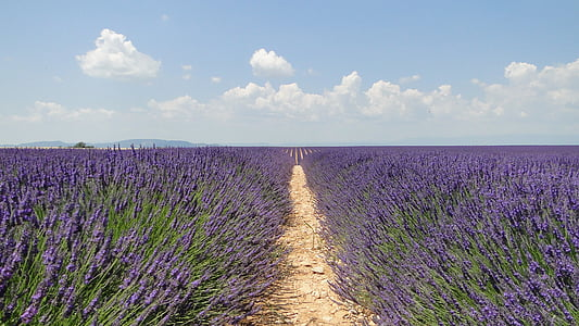 lavanda, flors, lavanda, Valensole, Provença-Alps-Costa Blava, porpra, natura