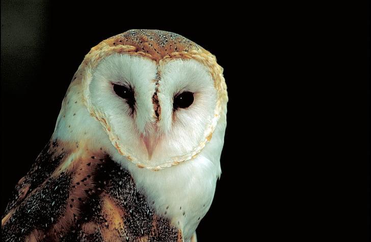 barn owl, predator, bird, eyes, nocturnal, face, profile