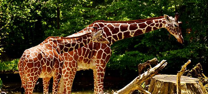 giraffes, wild animal, stains, long jibe, animals, africa, zoo