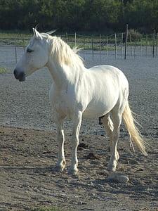 con ngựa, Camargue, Pháp, động vật, Mane, Thiên nhiên, Stallion