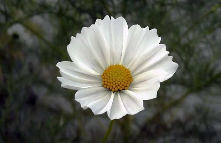 flower, cosmos, cosmea, cosmos bipinnatus, macro, close, white