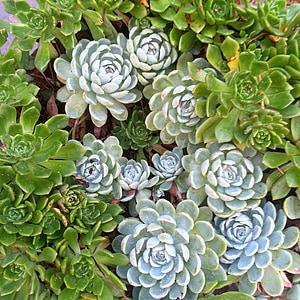 piante grasse, fiore, pianta, verde, giardino