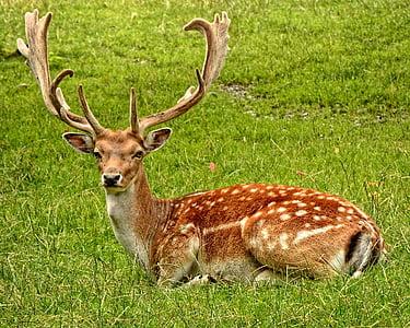 ruskea, valkoinen, Deer, makaa, vihreä, ruoho, Metsä