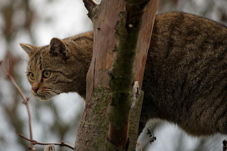 mèo rừng, con mèo, động vật, Thiên nhiên, mèo trong nước, vật nuôi, Dễ thương