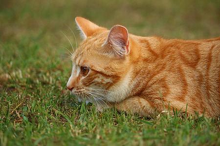 cat, mieze, kitten, mackerel, tiger cat, red cat, red mackerel tabby