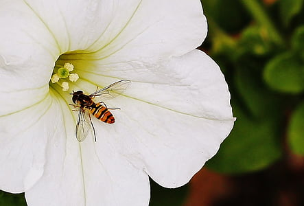 flower, hover fly, fly, hover, wildlife, wing, garden