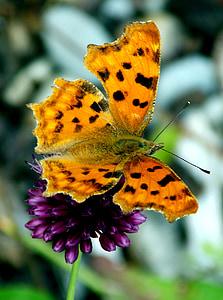 Motyl, c falter, motyle, edelfalter, patch motyle, owad, zwierzęta