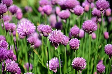 cebollino, campo de cebollino, especia, hierbas de cocina, hierbas, planta, verde