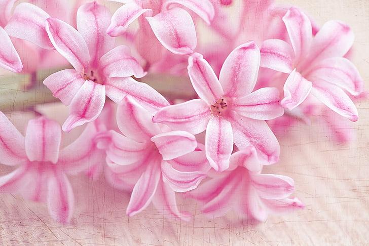 eceng gondok, bunga, bunga, merah muda, bunga musim semi, schnittblume, wangi bunga