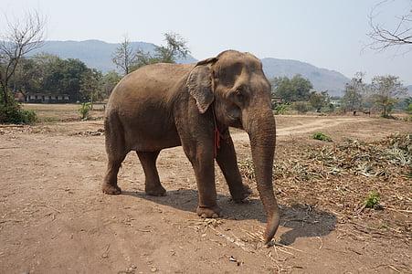 elefant, Tailàndia, Santuari, natura, animal, mamífer