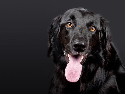câine, hovawart, negru, animal de casă, fundal negru, cap de caine, hundeportrait