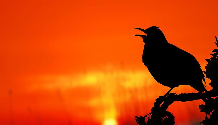 птица, изгрев, силует, дърво, Кос, ябълка, сутрин