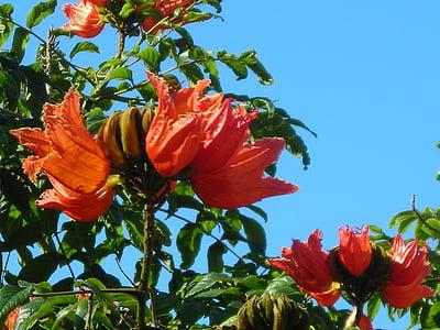africà, Tulip arbre, flors, arbre, taronja vermell, brillant, Madeira