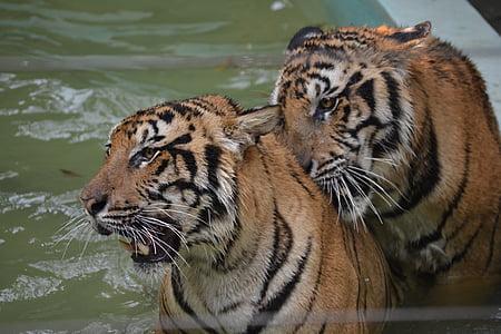 tiger, wild, thailand, animal, nature, wildlife, mammal