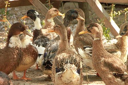 страна, патици, Еко, Градина, птици, птици, птица
