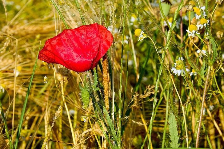 klatschmohn, poppy flower, poppy, blossom, bloom, red, red poppy