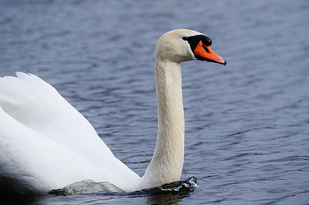 swan, water bird, animal world, pride, bird, waterfowl, water