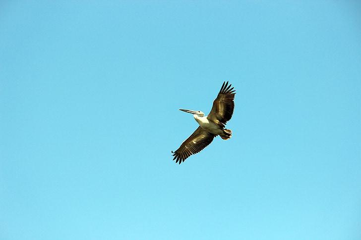 Linnut, taivas, linnun lennättäminen, Sea bird, lento, Luonto