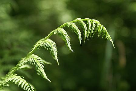 kapradina, Les, zelená, závod, Příroda, list, kapradí list