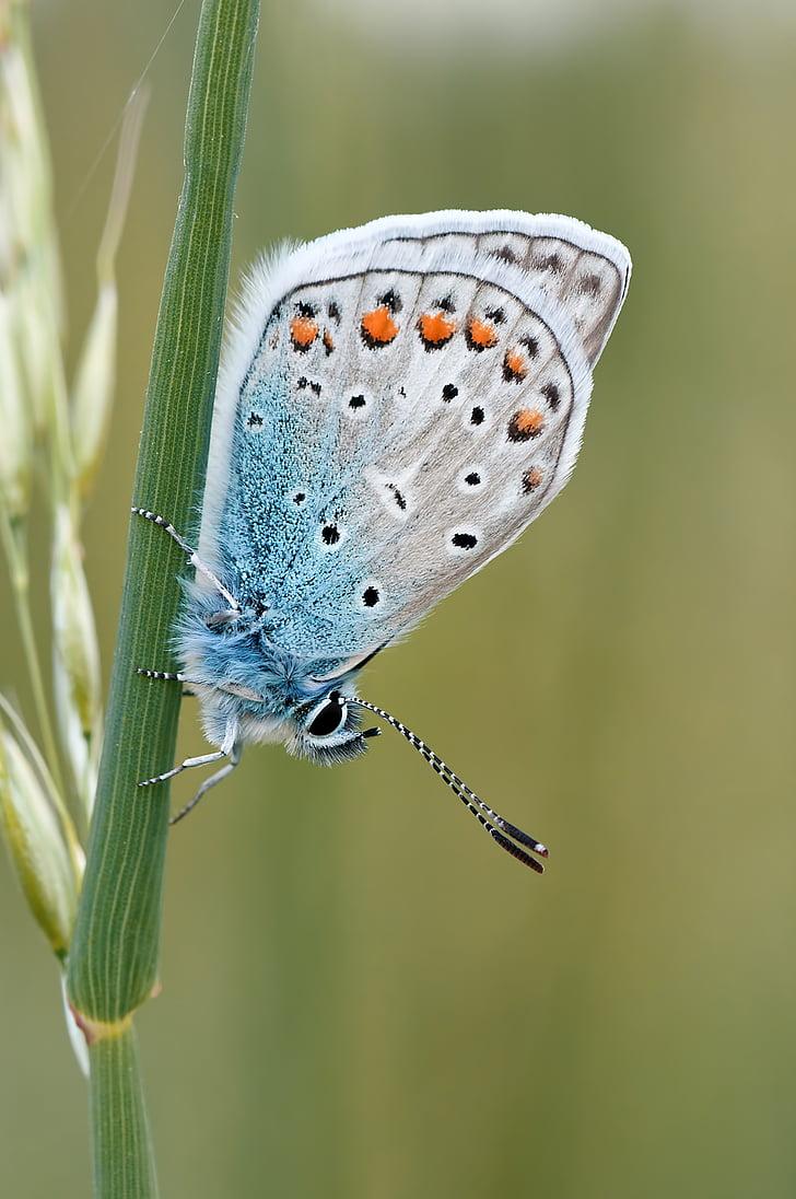 Luonto, hyönteinen, perhonen, makro, Butterfly - hyönteisten, eläinten wing, eläinten