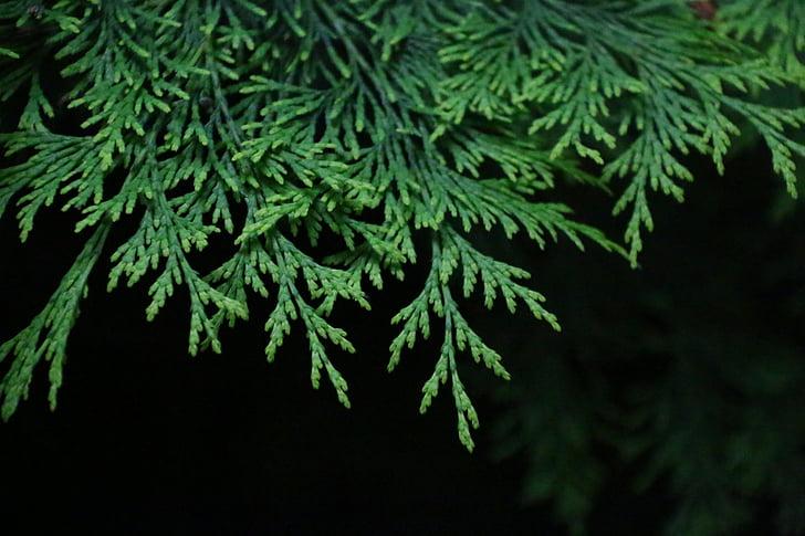 kuusen, haara, vihreä, kuusesta haara, Luonto, pensas