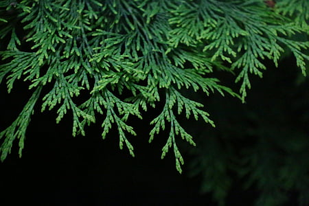 fir, branch, green, fir branch, nature, shrub