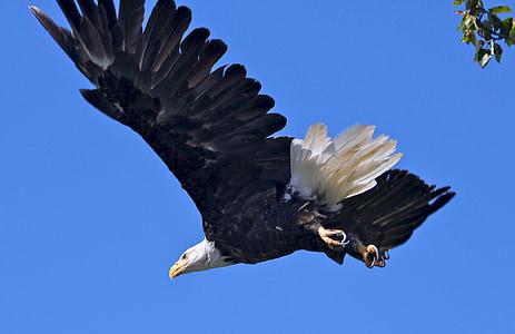 kalju kotka, huiman, lintu, Raptor, lento, Flying, Wild