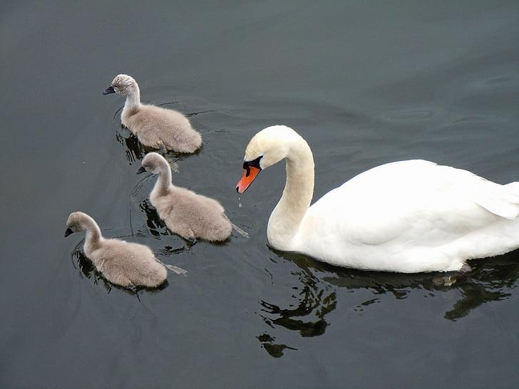 schwaenenfamilie, лебеди, лебед бебета