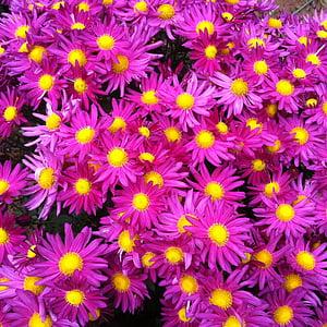 roosad lilled, kollane lill, krüsanteem