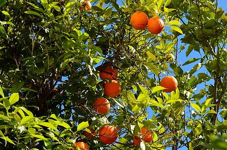 orange, oranger, fruits, agrumes, Bush, juteuse, fruits