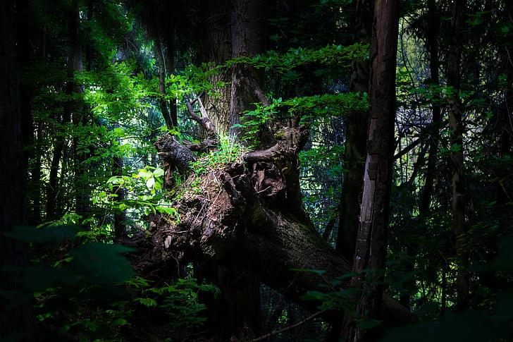 bosc, registre, natura, arbres, llum del sol, boscos, arbre vell