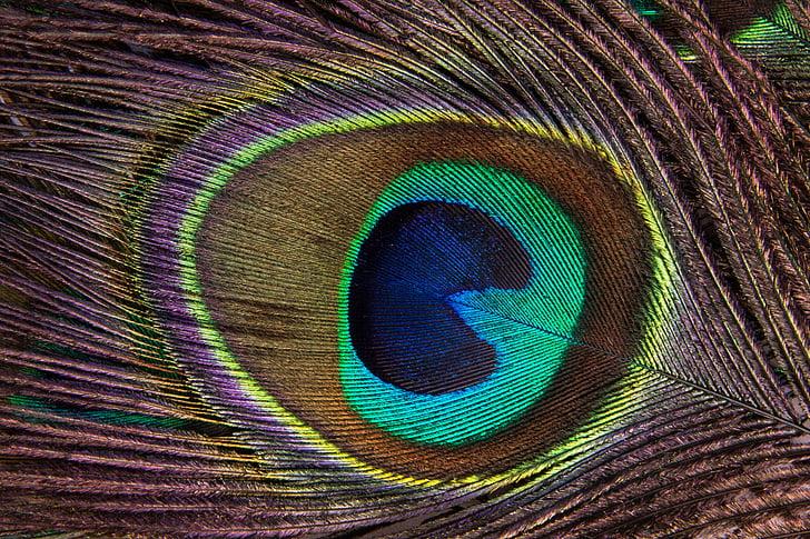 паун перо, структура, фонд, паун, PaVo cristatus, птици перо, око