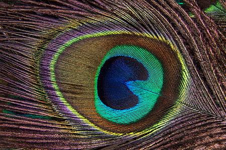 ploma de paó, estructura, fons, paó, Pavo cristatus, plomes d'ocell, ull