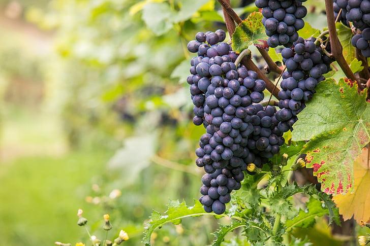 víno, hrozno, Pinot noir, vinič, Leaf, jeseň, Zelená
