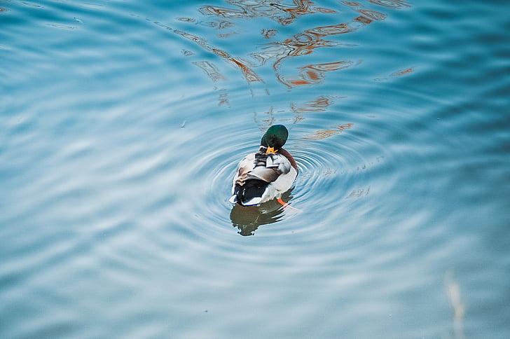 anatra, acqua, uccello acquatico