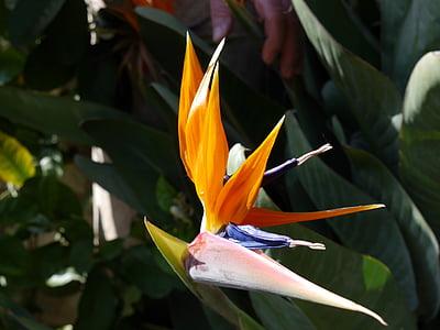 strelitzias, bird of paradise flower, parrot blum, flower