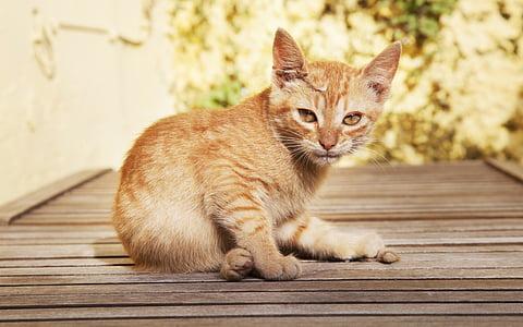 猫, 甘い, 子猫, かわいい猫