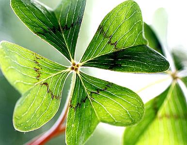 Klee, Leaf apila onnea, Puutarha, Shamrocks, vihreä, Four leaf apila, kasvi