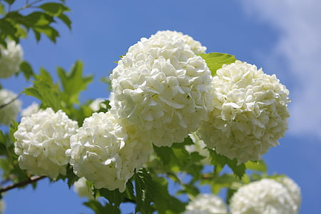 Snow ball, lill, Aed, loodus, suvel, aia taimede, lumepall