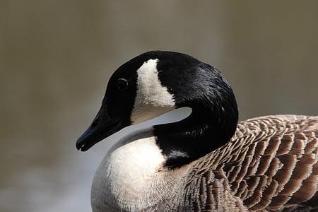 カナダ, ガチョウ, 湖, 鳥, 自然, 野生動物, 水