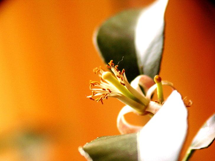 llimona, arbre, cítrics, flor, flor, flor, natura