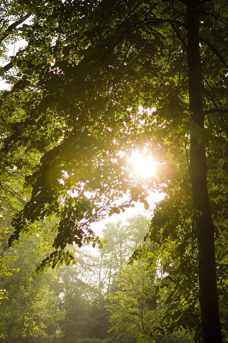 sol, arbre, llum, caducifoli, calç