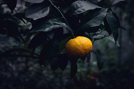 Citrus, Bush, rastlín, Záhrada, ovocie, Príroda, okrasná rastlina