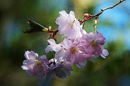 spring flower, tree, nature, pink, apple blossom, branch, petal