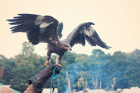 Adler, eläinten, Raptor, höyhenpeite, lintu, Bill, Hunter